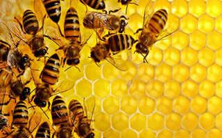 Как пчелы научились строить соты и собирать мед, кто их научил