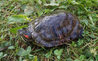 Красноухих черепах обнаружили в пруду на севере столицы