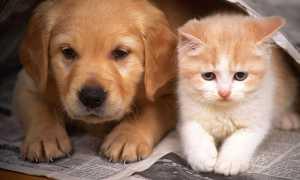 Кошка знакомит собаку со своими котятами