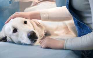 Кастрация собак плюсы и минусы – мнение ветерианров