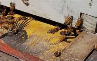 В Башкирии на видео попал медвежонок, ворующий мёд у пчёл