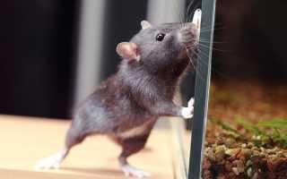 Крысы могут играть ради удовольствия