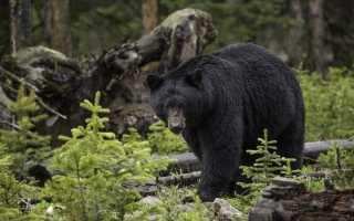 Приветливый медведь попал на видео в США
