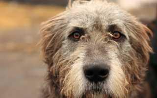 Ирландский волкодав (фото): умелый охотник с аристократичной внешностью