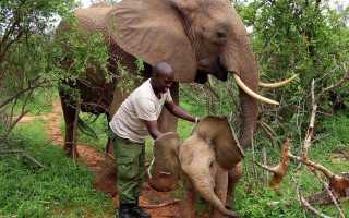 Осиротевший слонёнок вернулся к своему спасателю