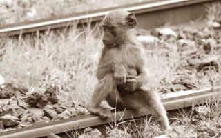 Знакомство шимпанзе с черепахой попало на видео