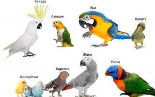 Говорящий попугай Ричи — смотреть онлайн