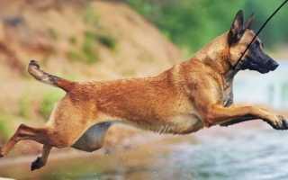 Короткая овчарка Квазимодо — история горбатой собаки-инвалида