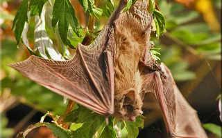 Изучены способы охоты летучих мышей