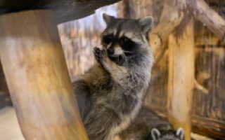 Контактный зоопарк в Лянторе бросил своих животных