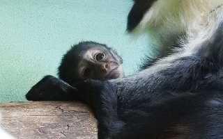 В Московском зоопарке родился детёныш у редких мартышек дианы