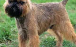 Гриффон собака (фото): очаровательные непоседы