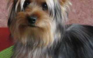 Австралийский шелковистый терьер: особенности и описание породы собаки, правила содержания и ухода