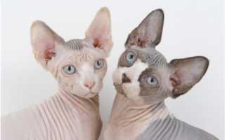 10 самых красивых пород кошек в мире
