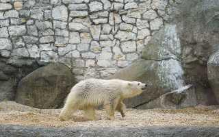 В красноярском зоопарке рассказали о спасённом белом медвежонке