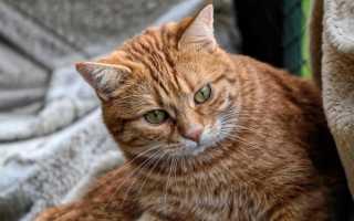 Как кошки и коты мяукают: как котята и взрослые животные пытаются поговорить с человеком и как распознать, что питомец хочет сказать