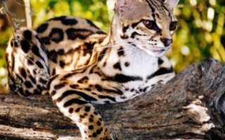 Мраморная дикая кошка: описание, характер, среда обитания и образ жизни, фото