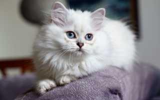 Британская длинношерстная кошка: история, внешние особенности, характер, советы по содержанию и уходу, фото британцев