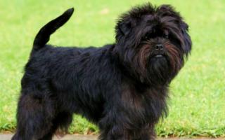 Аффенпинчер (фото): «Бородатая собачка» из Германии