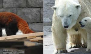 В Смитсоновском зоопарке родились редкие красные панды