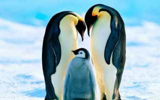 Древние пингвины были ростом с современного человека