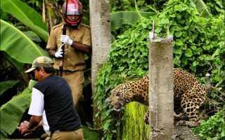 Дворняга из индийского города дала отпор дикому леопарду