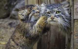 Детёнышей манулов в Новосибирске выкармливает обычная кошка