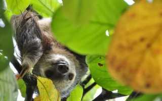 Интересные факты о самом ленивом животном — ленивце