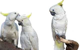 Бешеный попугай — видео с нападающим какаду