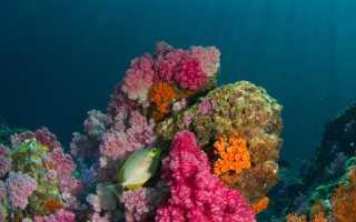 Кораллы способны оживать после гибели