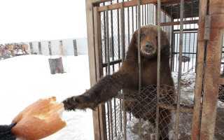 На Урале медведь растерзал хозяина