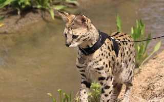 Ашера (фото): Самая большая и «дикая» домашняя кошка