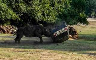 В Германии разъярённый носорог напал на машину сотрудницы парка