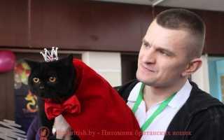 Британская кошка чёрного окраса: история выведения, особенности и стандарты, фото котов-британцев