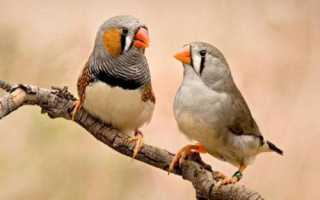 Виды домашних попугаев: мелкие попугаи