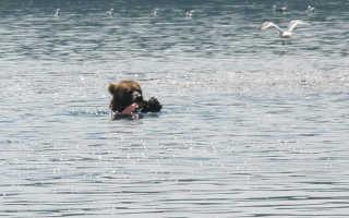 На Камчатке сняли, как медведь повторяет движения кита