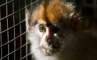 В США открыли приют для лабораторных обезьян на пенсии