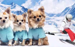 Интересные факты о чихуахуа — особенности этих маленьких харизматичных собак