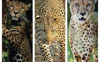 Мяукающий гепард покорил пользователей Сети