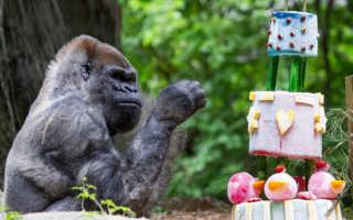 В последние минуты жизни старейшей гориллы рядом с ней был её самый близкий друг