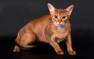 Абиссинская кошка (фото): ум, грация и любознательность