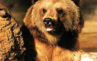 В уральском зоопарке белый медведь застрял в бочке