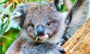 Коала (фото): Сумчатый мишка из Австралии