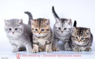 Британская короткошёрстная кот звезда