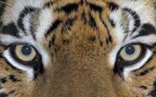 В Китае тигр и хаски погонялись друг за другом через стекло