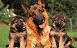 Мастит у собаки симптомы и лечение, при ложной беременности, как избежать