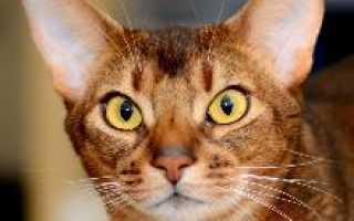 Абиссинский кот (фото): священное животное фараонов в вашем доме