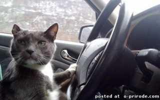 Коты за рулем: подборка смешных фото