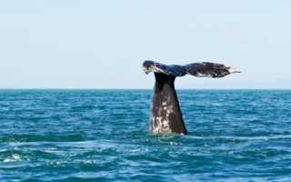 Морские биологи услышали шёпот гладких китов