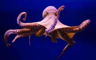 В океане заметили похожего на болгарский перец осьминога